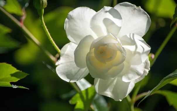 Фото обои макро, лепестки, бутон, белая роза