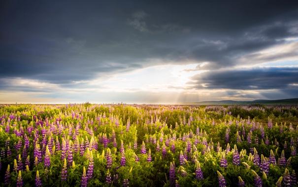 Фото обои поле, небо, солнце, облака, горы, горизонт, Люпин