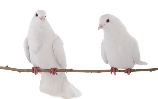 Фото обои ветка, белый фон, branch, white background, белые голуби, white doves
