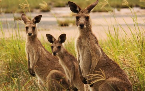 Фото обои трава, кенгуру, трое, семейство