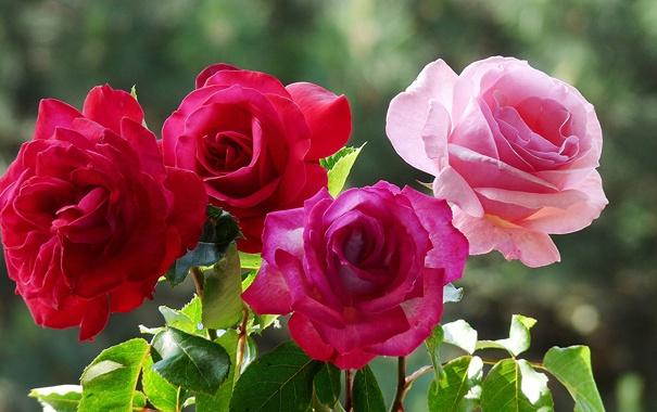 Фото обои макро, роза, куст, лепестки, сад