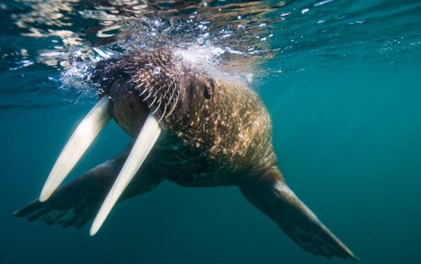 Фото обои океан, морж, бивни