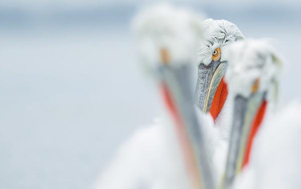 Фото обои взгляд, птицы, пеликаны, пеликан