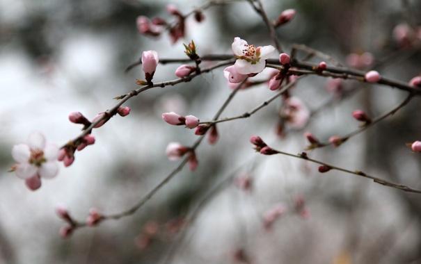 Фото обои pink, flowers, china, plum flower