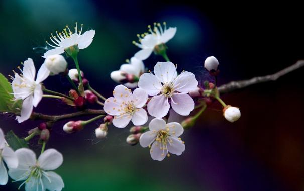 Фото обои цвета, макро, цветы, вишня, ветка, весна, лепестки
