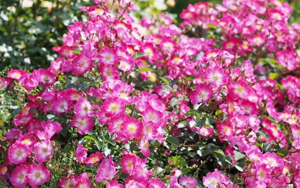 Фото обои розы, цветение, розовый куст