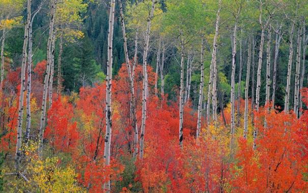 Фото обои осень, лес, листья, деревья, береза, осина, багрянец