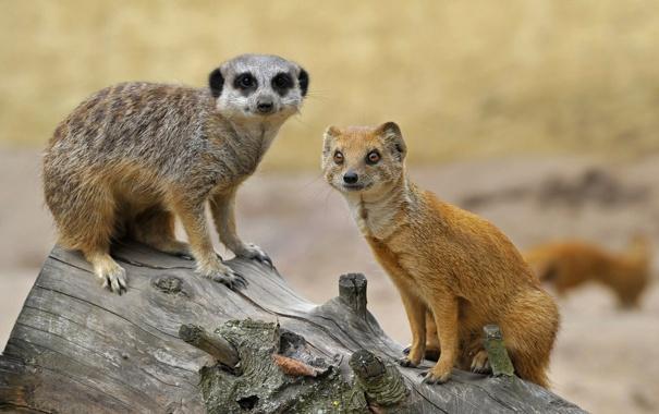 Фото обои бревно, друзья, мангуст, сурикат