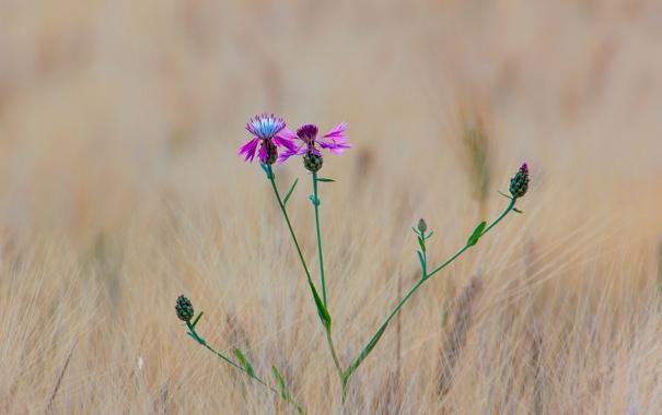 Фото обои поле, цветок, трава, макро, луг