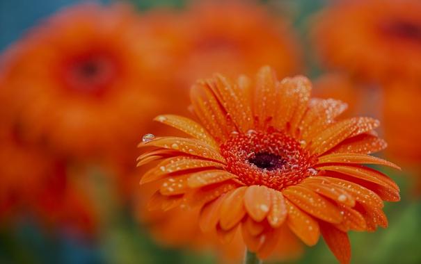 Фото обои вода, капли, макро, роса, лепестки, сад, клумба