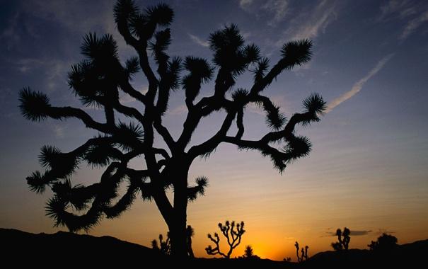 Фото обои небо, закат, дерево, пустыня, кактус, горизонт, силуэт