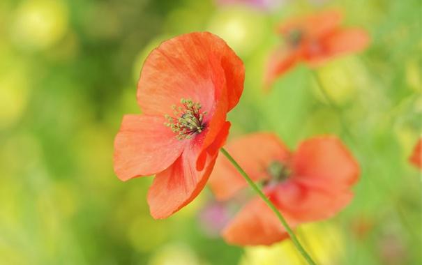 Фото обои красный, мак, маки, поле, цветы