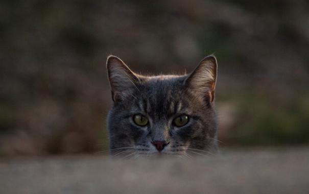 Фото обои глаза, котяра, кошак, взгляд