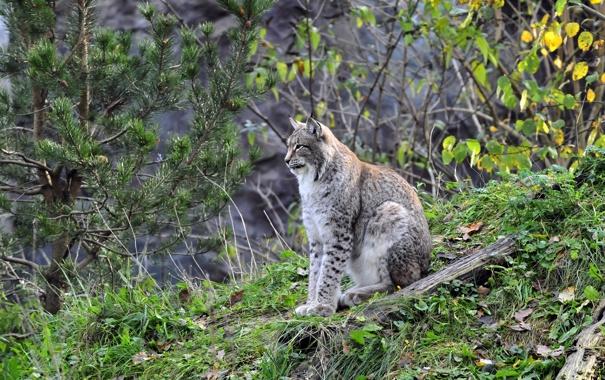Фото обои кошка, трава, природа, дерево, листва, холм, профиль