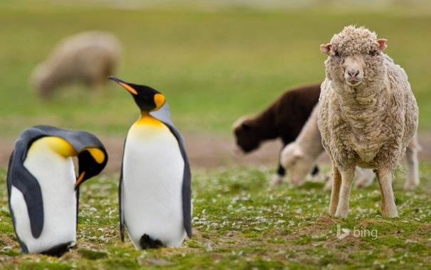 Фото обои трава, природа, пингвины, овца, Фолклендские острова
