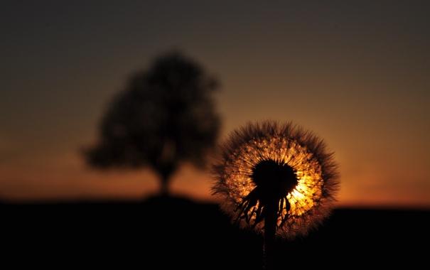Фото обои небо, макро, закат, природа, одуванчик