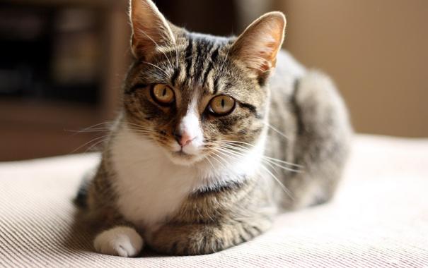 Фото обои кошка, глаза, шерсть, мордашка