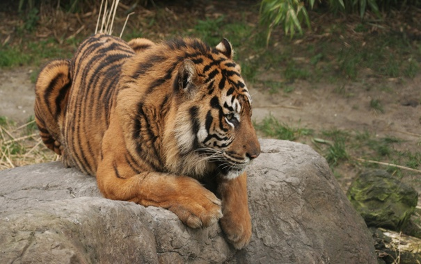 Фото обои тигр, лапы, сидит