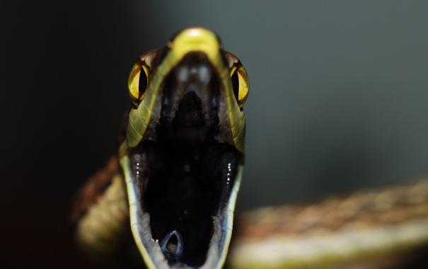 Фото обои крупный план, змея, пасть, National Geographics