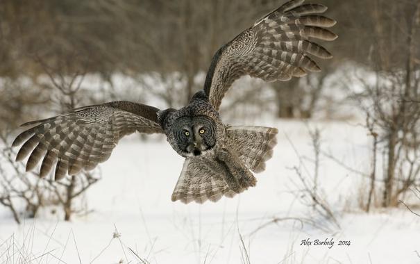 Фото обои сова, птица, Great Grey Owl, Бородатая неясыть, Strix nebulosa