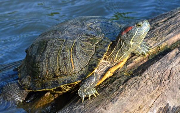 Фото обои вода, камень, черепаха, панцирь