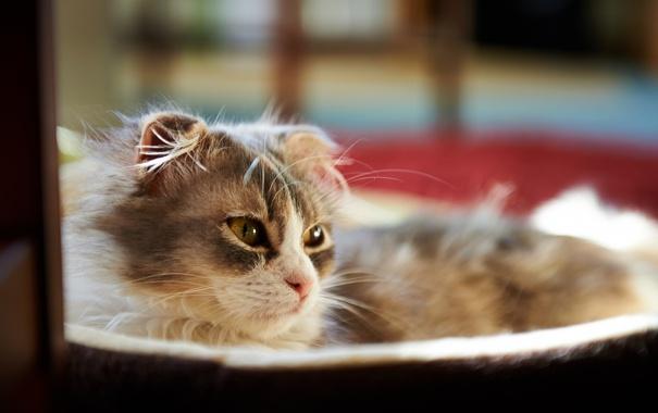 Фото обои кошка, комната, мордочка, лежа