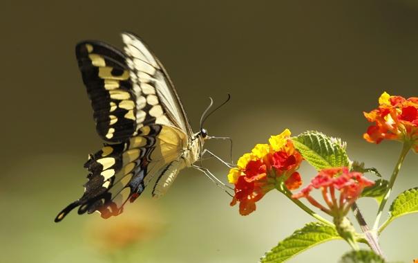 Фото обои цветок, природа, бабочка, растение, крылья, мотылек