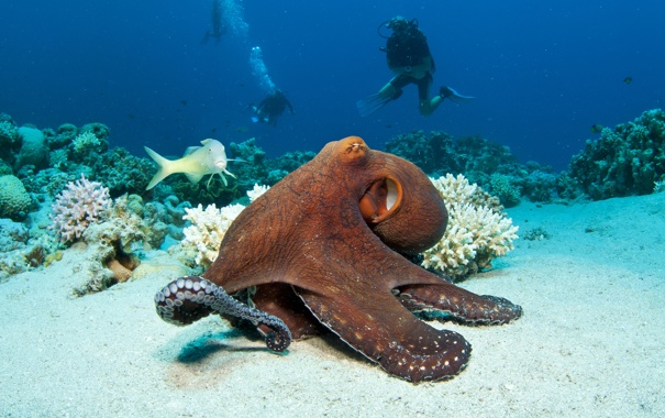 Фото обои океан, осьминог, подводный мир, underwater, ocean, fishes, tropical