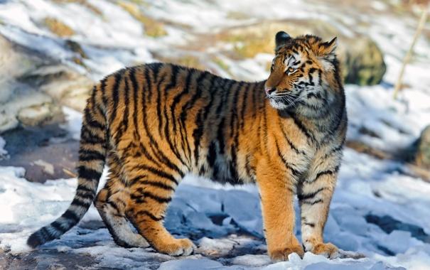 Фото обои свет, тигр, блики, тень, стоит, смотрит, молодой