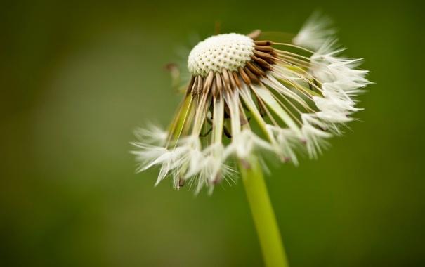 Фото обои макро, фон, одуванчик, widescreen, обои, растение, размытие