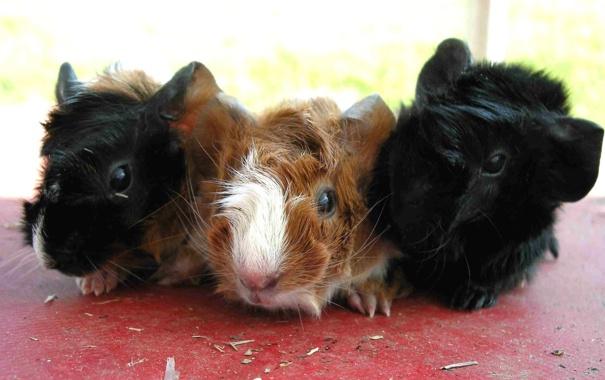 Фото обои черная, семечки, коричневая, морские свинки