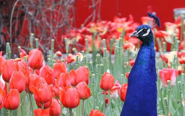 Фото обои цветы, тюльпаны, павлин