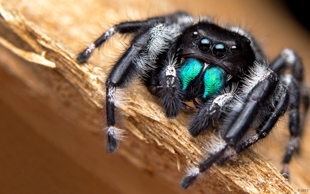 Фото обои глаза, макро, паук, лапы, насекомое