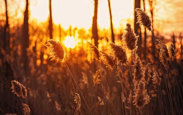 Фото обои закат, природа, камышь, лето