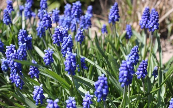 Фото обои поле, макро, цветы, синева, весна, луг