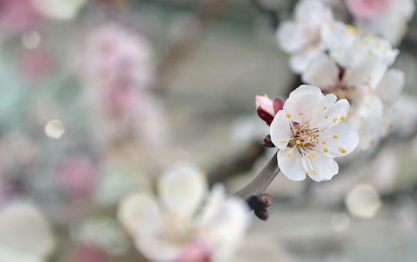 Фото обои весна, прекрасное, Абрикос, нежность