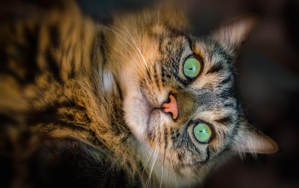 Фото обои кот, взгляд, питомец