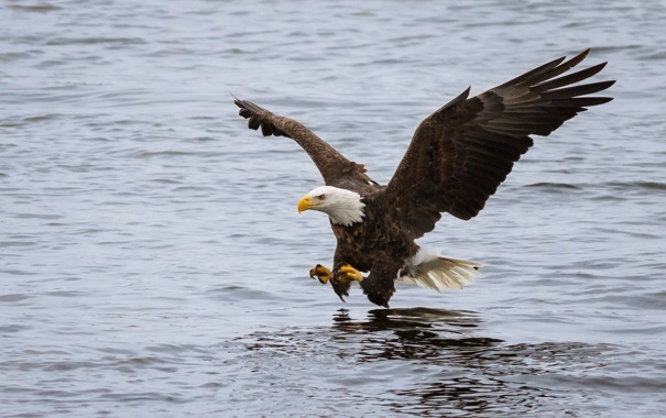 Фото обои полет, птица, атака, рыбалка, крылья, хищник, белоголовый орлан