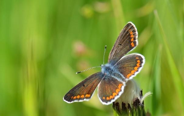 Фото обои фон, одуванчик, бабочка, размытость