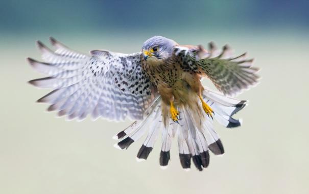 Фото обои природа, птица, пустельга