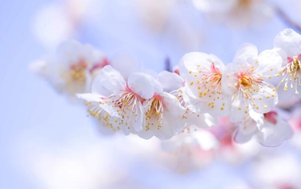 Фото обои цветы, дерево, весна, лепестки, сад