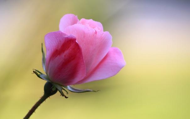 Фото обои фон, роза, лепестки, стебель, бутон, розовые
