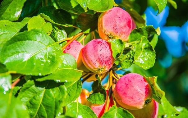 Фото обои листья, дерево, яблоки, еда, яблоня