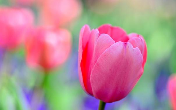 Фото обои макро, тюльпан, лепестки, сад