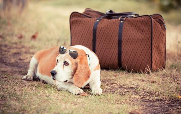 Фото обои сумка, пёс, чёрные очки