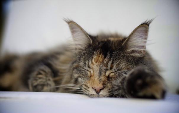 Фото обои кошка, спит, лежит, трехцветная, пятнистая