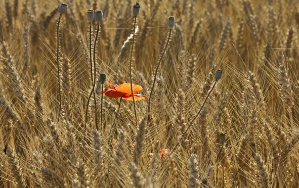 Фото обои поле, лето, мак, колосья