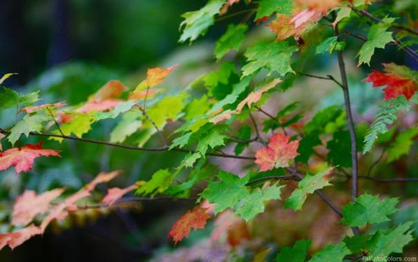 Фото обои осень, клен, макро. листья