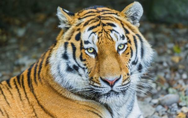 Фото обои полоски, тигр, отдых, хищник, амурский
