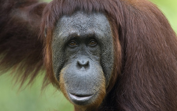 Фото обои обезьяна, ухмылка, орангутан, эй ты